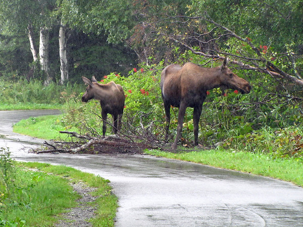 Kincaid Park in Anchorage, Alaska (Moose) (6)