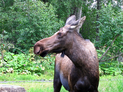 Kincaid Park in Anchorage, Alaska (Moose) (4)