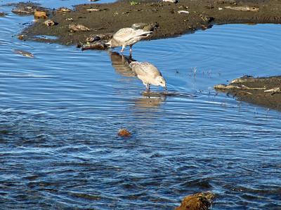 Anchorage Coastal Wildlife Refuge (Potter Marsh), Alaska (7)
