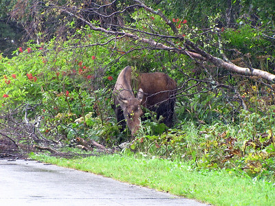 Kincaid Park in Anchorage, Alaska (Moose) (5)