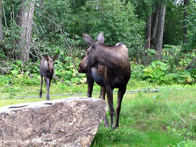 Kincaid Park in Anchorage, Alaska (Moose) (2)
