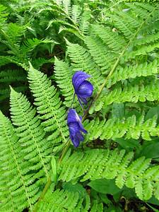 Denali State Park, Alaska (Flora) (4)