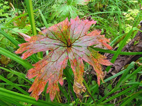 Denali State Park, Alaska (Flora) (2)