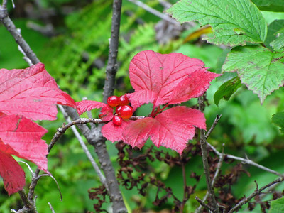 Denali State Park, Alaska (Flora) (6)