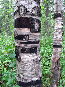 Denali State Park, Alaska (Birch)