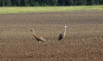 Creamer's Field in Fairbanks, Alaska (Sandhill Cranes) (2)