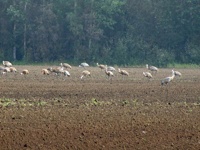 Creamer's Field in Fairbanks, Alaska (Sandhill Cranes) (1)