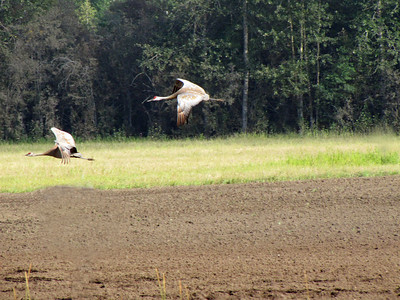 Creamer's Field in Fairbanks, Alaska (Sandhill Cranes) (3)