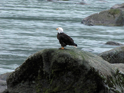 Chilkoot Lake State Recreation Campground, Alaska (bald eagle) (2)