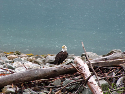 Chilkoot Lake State Recreation Campground, Alaska (bald eagle) (3)