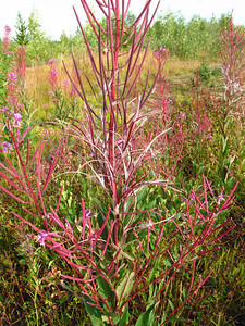 Cassiar Highway (#37), British Columbia, Canada (fireweed) (12)