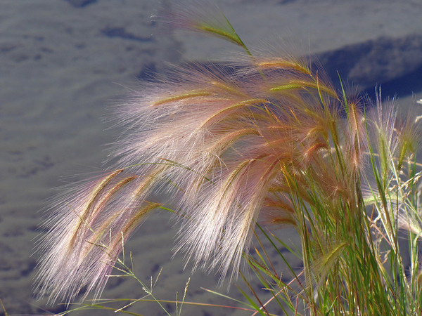 Wildflowers (Klondike Highway) (Wild Barley) (1)