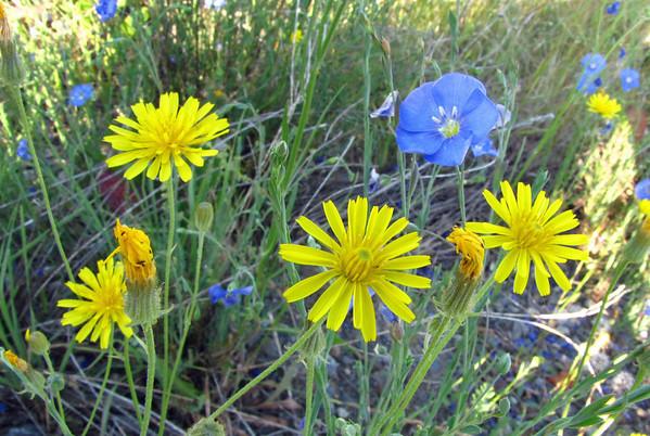 Wildflowers (Klondike Highway)  (3)