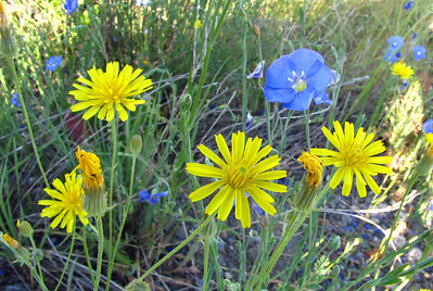 Wildflowers (Klondike Highway)  (3)