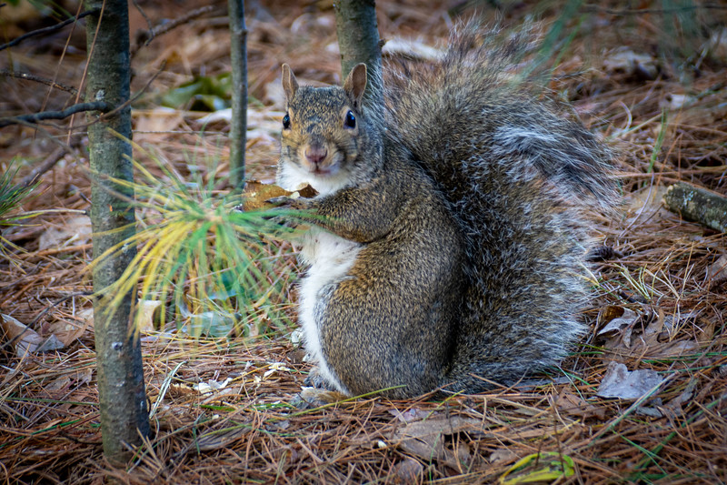 Squirrel on the Bearskin Trail