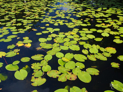 Lily Pads of Southern Norway