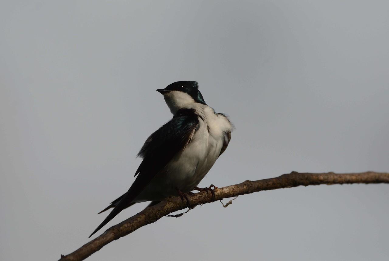 Tree Swallow -- Tachycineta bicolor
