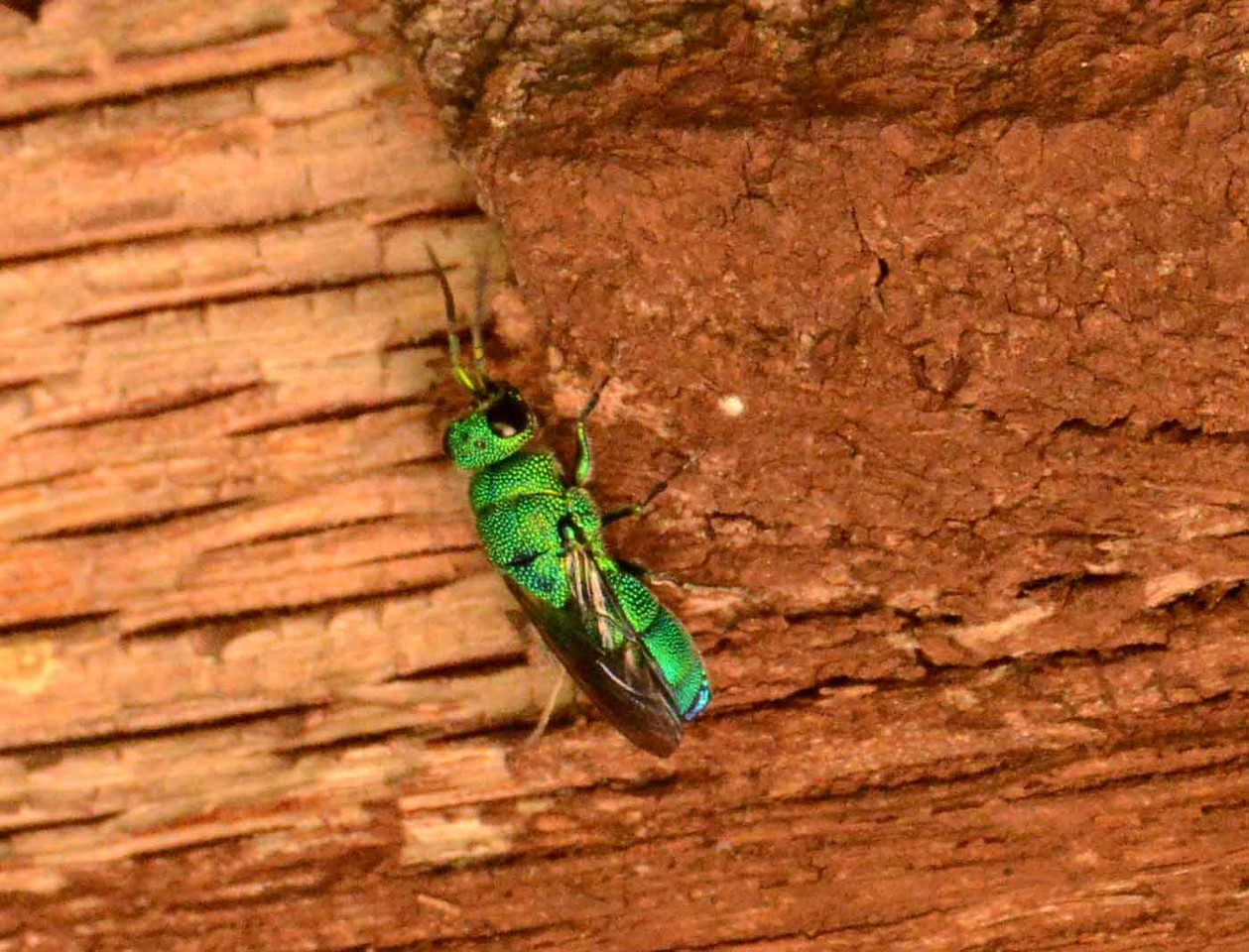 "Cuckoo Wasps, Family Chrysidae, are nest parasites of other bees and wasps.<br /> <br /> ""An unexamined life is not worth living."" ~ Socrates"