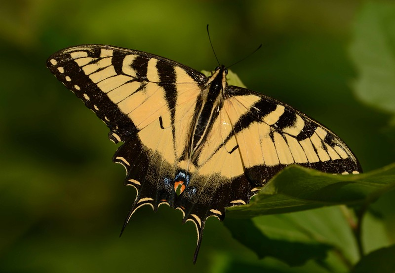 "Eastern Tiger Swallowtail (m) -- Papilio glaucus<br /> <br /> ""Nature does not hurry, yet everything is accomplished."" ~ Lao Tzu"