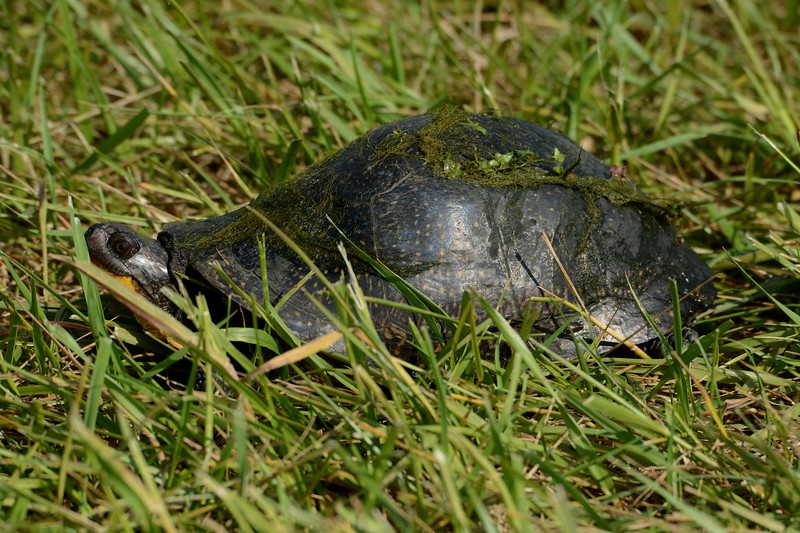 Blanding's Turtle -- Emydoidea blandingii, a threatened species in OH