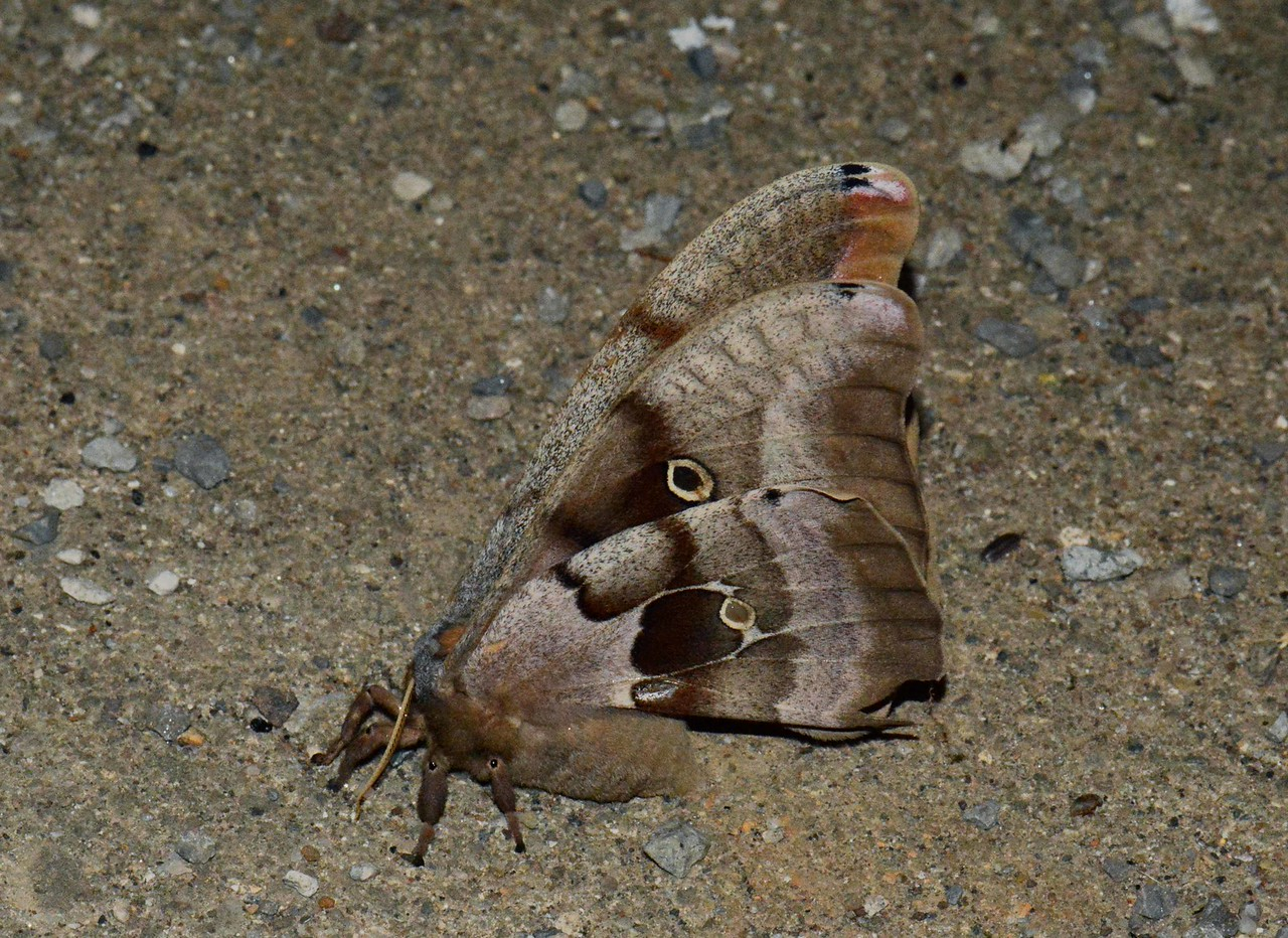 "one of the largest North American moths<br /> <br /> ""All thinking creates images."" ~ Aristotle"