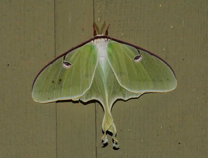 "Luna Moth (m) -- Actias Luna, Hodges# 7758, MPG 225950<br /> <br /> 'The elephant, the huge old beast,<br /> is slow to mate;<br /> he finds a female, they show no haste<br /> they wait<br /> <br /> for the sympathy in their vast shy hearts<br /> slowly, slowly to rouse<br /> as they loiter among the river-beds<br /> and drink and browse<br /> <br /> and dash in panic through the brake<br /> of forest with the herd,<br /> and sleep in massive silence, and wake<br /> together, without a word...' ~ from ""The Elephant is Slow to Mate"" by David Herbert Lawrence"