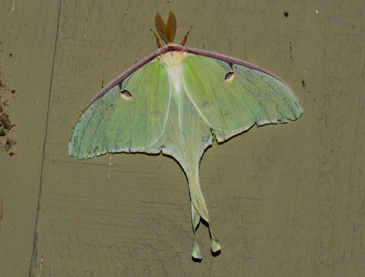 "Luna Moth (f)<br /> <br /> '...So slowly the great hot elephant hearts<br /> grow full of desire,<br /> and the great beasts mate in secret at last,<br /> hiding their fire.<br /> <br /> Oldest they are and the wisest of beasts<br /> so they know at last<br /> how to wait for the loneliest of feasts<br /> for the full repast.<br /> <br /> They do not snatch, they do not tear;<br /> their massive blood<br /> moves as the moon-tides, near, more near<br /> till they touch in flood.' ~ ""The Elephant is Slow to Mate"" by David Herbert Lawrence"