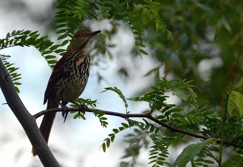 Brown Thrasher -- Toxostoma rufum