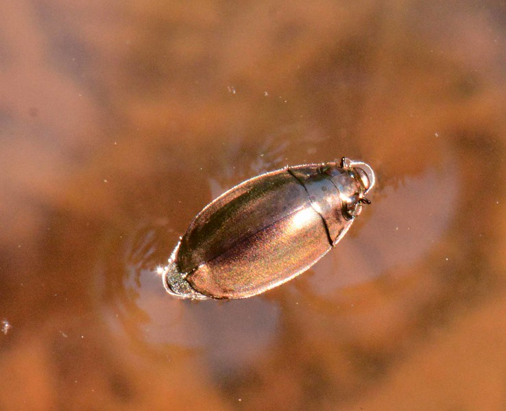 "Whirligig Beetle, Family Gyrinidae<br /> <br /> 'By Tigris, or the streams of Ind,<br /> Ere Colchis rose, or Babylon,<br /> Forgotten empires dreamed and sinned,<br /> Setting tall towns against the dawn,<br /> Which, when the proud Sun smote upon,<br /> Flashed fire for fire and pride for pride;<br /> Their names were ... ask oblivion! ...<br /> ""They had no poet, and they died.""' ~ from ""They Had No Poet ..."" by Don Marquis"