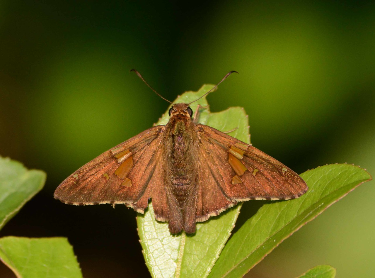 "Silver-spotted Skipper -- Epargyreus clarus<br /> <br /> 'Not chaos-like together crush'd and bruis'd,<br /> But, as the world, harmoniously confus'd,<br /> Where order in variety we see,<br /> And where, though all things differ, all agree.' ~ Alexander Pope, ""Windsor Forest"", 1717."