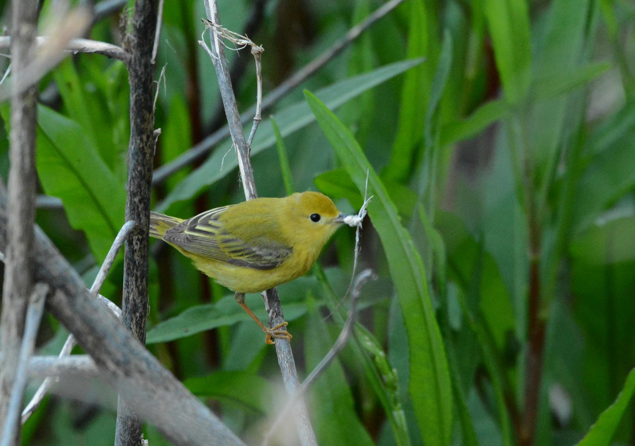 Yellow Warbler (1st summer m) -- Setophaga petechia, with nesting material