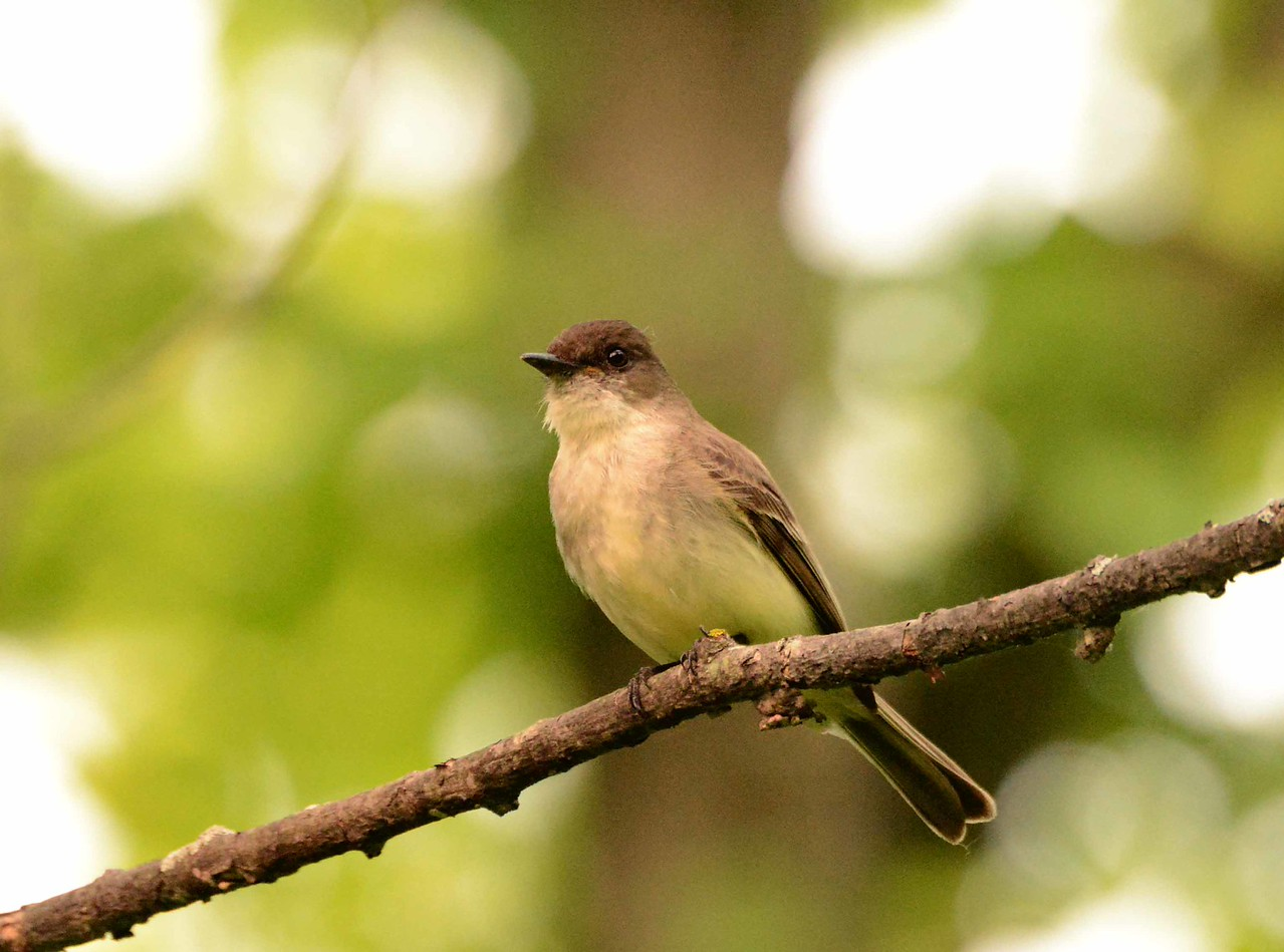 "Eastern Phoebe -- Sayornis phoebe<br /> <br /> 'What year<br /> does the phoebe<br /> think it is?' ~ ""The Millennium"" by Wendell Berry, 2005."