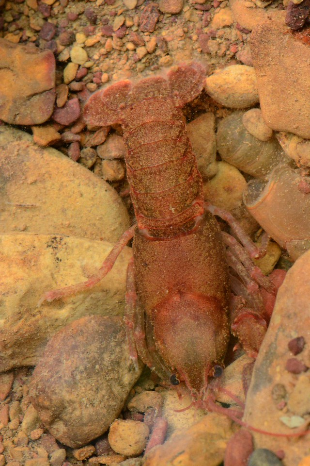 "A crawdad that had just molted (shed shell to its left) was found in a rocky creek bottom in Shawnee State Forest, Scioto County.<br /> <br /> 'Build thee more stately mansions, O my soul,<br /> As the swift seasons roll!<br /> Leave thy low-vaulted past!<br /> Let each new temple, nobler than the last,<br /> Shut thee from heaven with a dome more vast,<br /> Till thou at length art free,<br /> Leaving thy outgrown shell by life's unresting sea!' ~ ""The Chambered Nautilus"" by Oliver Wendell Holmes"