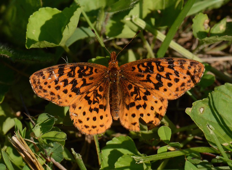 Meadow Fritillary -- Boloria bellona. Bellona = Roman goddess of war