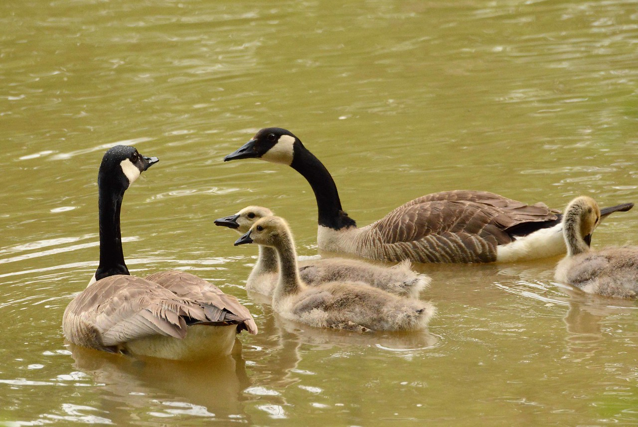 "Canada Geese  -- Branta Canadensis<br /> <br /> 'Unwearied still, lover by lover,<br /> They paddle in the cold<br /> Companionable streams or climb the air;<br /> Their hearts have not grown old;<br /> Passion or conquest, wander where they will,<br /> Attend upon them still.' ~ from ""The Wild Swans at Coole"" by William Butler Yeats"