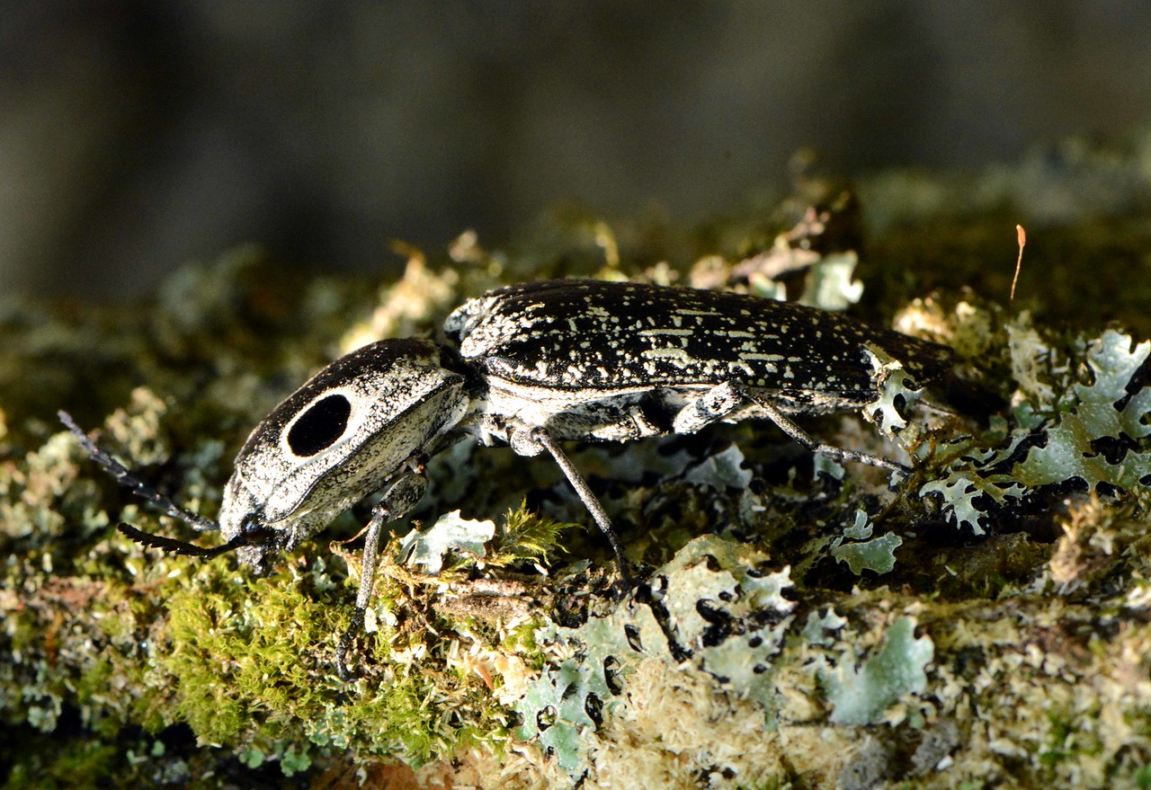 Eyed Elator -- Alaus oculatus, a large click beetle. Most creatures use legs to jump but click beetles have their own unique adaptation.