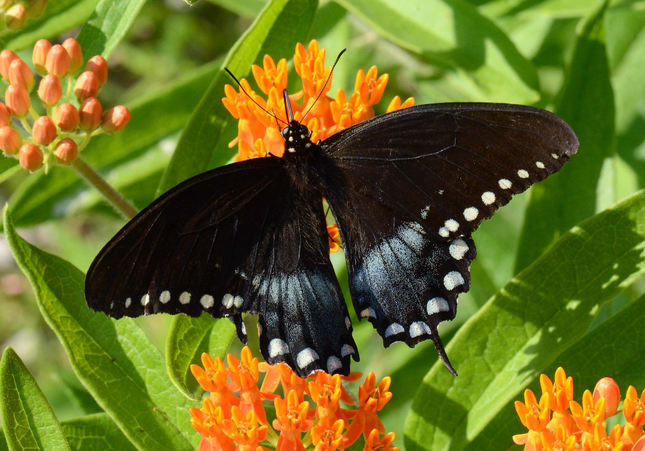 "Spicebush Swallowtail (f) -- Papilio troilus<br /> <br /> ""If you wanna fly, you got to give up the shit that weighs you down."" ~ Toni Morrison"