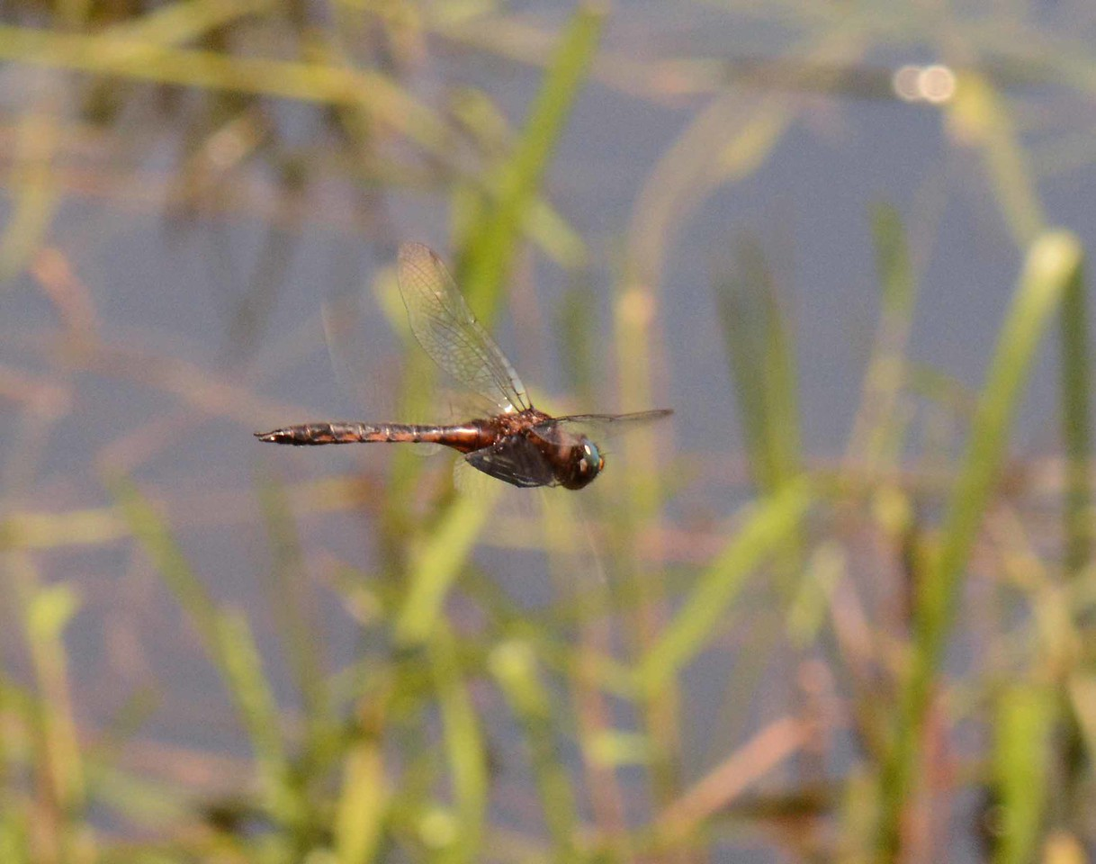 "Uhler's Sundragon (m) -- Helocordulia uhleri, hovering streamside<br /> <br /> 'Although I enter not,<br /> Yet round about the spot<br /> Ofttimes I hover;<br /> And near the sacred gate,<br /> With longing eyes I wait,<br /> Expectant of her.' ~ ""At the Church Gate"" by William Makepeace Thackeray"