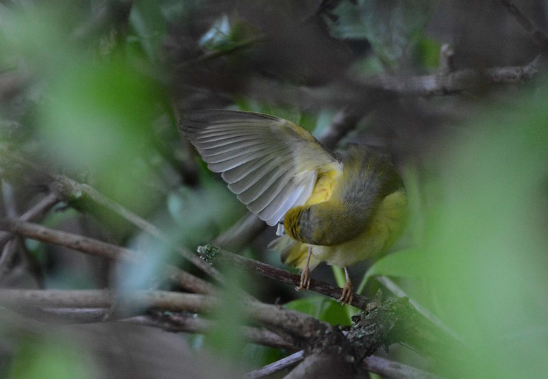 Yellow Warbler (1st summer m) -- Setophaga petechia, preening<br /> <br /> Maintenance work is requisite.