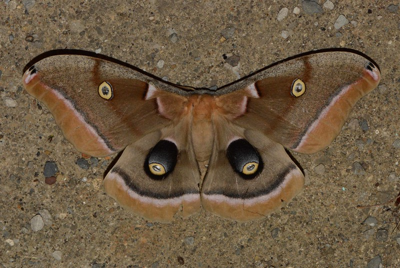 "Polyphemus Silkworm Moth -- Antheraea polyphemus, Hodges# 7757, MPG 225900<br /> <br /> The Ohio DNR promotes moth appreciation through Mothapalooza --  <a href=""http://www.mothapalooza.org"">http://www.mothapalooza.org</a>."