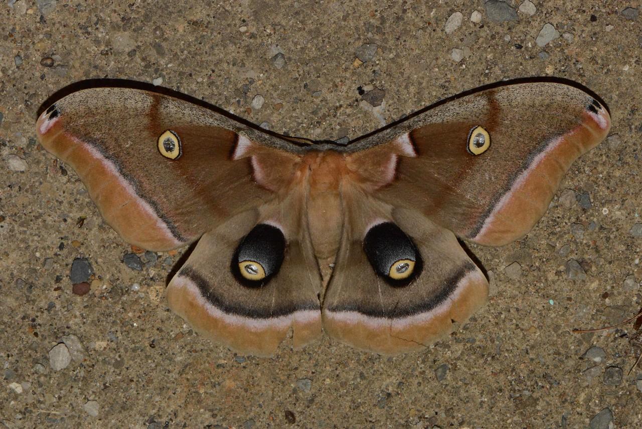 "Polyphemus Silkworm Moth -- Antheraea polyphemus, Hodges# 7757, MPG 225900<br /> <br /> The Ohio DNR promotes moth appreciation through Mothapalooza --  <a href=""http://www.mothapalooza.org"">http://www.mothapalooza.org</a>."