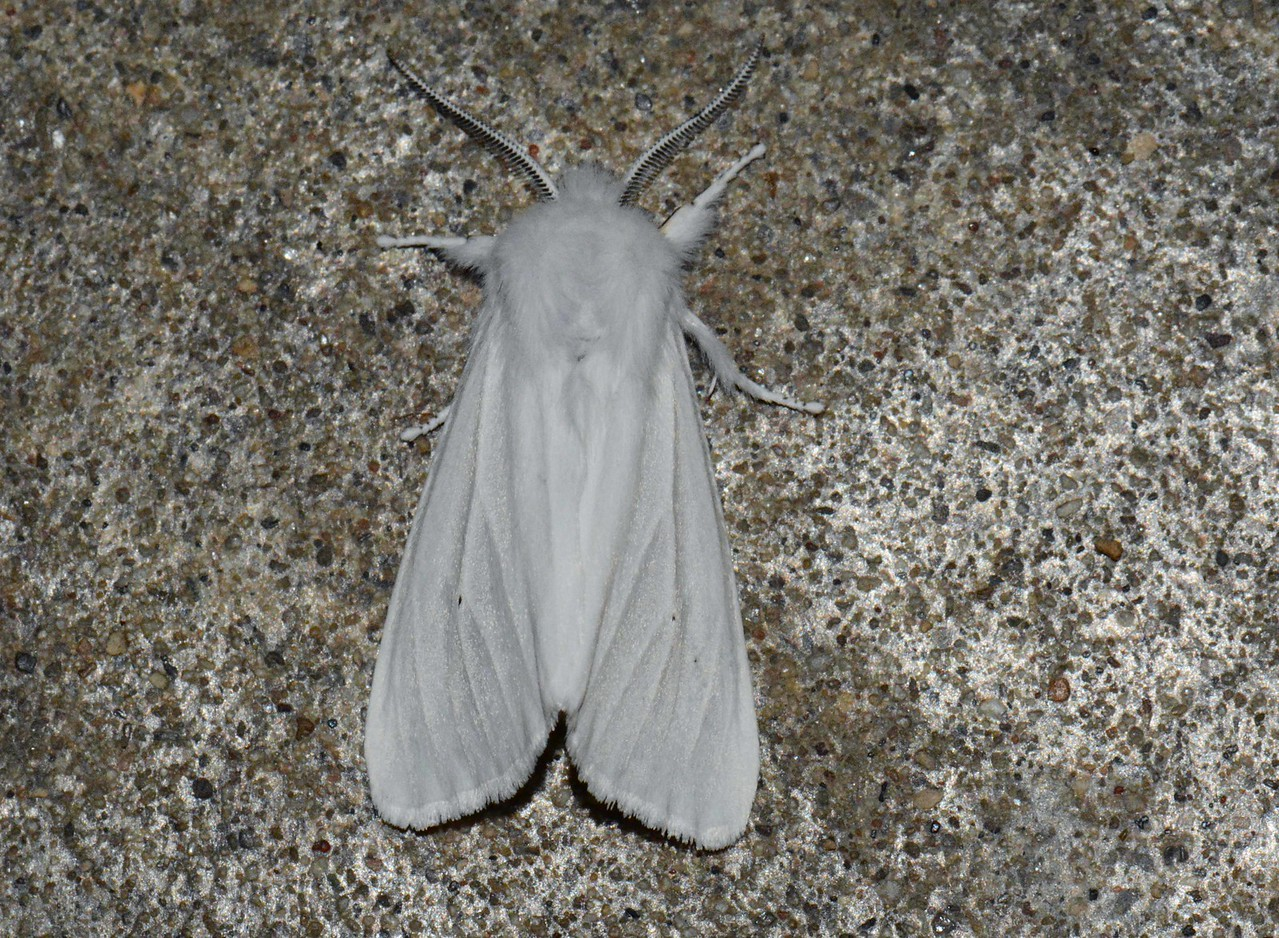 "Virginian Tiger Moth aka Yellow Wollybear Moth -- Spilosoma virginica, Hodges# 8137 MPG 990316<br /> <br /> 'Moonmoth and grasshopper that flee our page<br /> And still wing on, untarnished of the name<br /> We pinion to your bodies to assuage<br /> Our envy of your freedom—we must maim<br /> <br /> Because we are usurpers, and chagrined—<br /> And take the wing and scar it in the hand.<br /> Names we have, even, to clap on the wind;<br /> But we must die, as you, to understand.<br /> <br /> I dreamed that all men dropped their names, and sang<br /> As only they can praise, who build their days<br /> With fin and hoof, with wing and sweetened fang<br /> Struck free and holy in one Name always.' ~ ""A Name For All"" by Hart Crane"