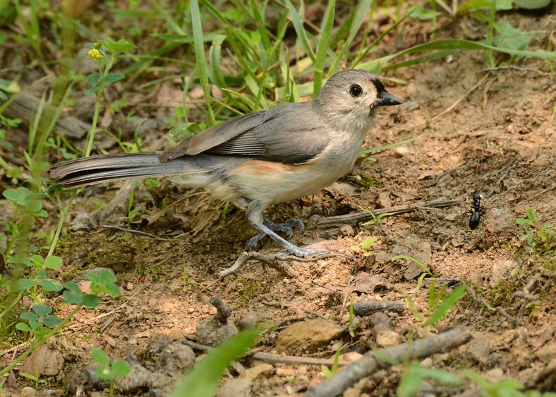 "Tufted Titmouse -- Baeolophus bicolor<br /> <br />  ""At some point in life the world's beauty becomes enough. You don't need to photograph, paint, or even remember it. It is enough."" ~ Toni Morrison"