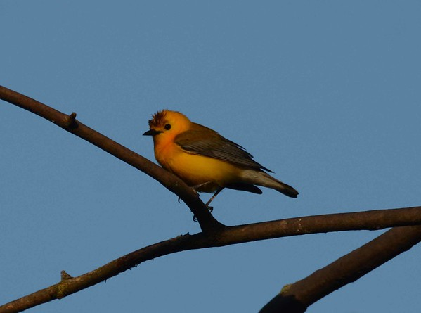 Prothonotary Warbler (m) -- Protonotaria citrea