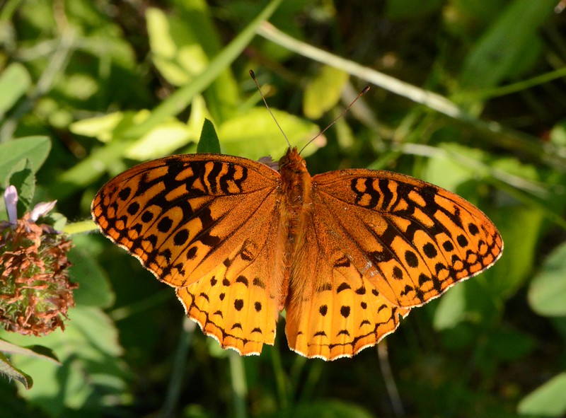 Great Spangled Fritillary -- Speyeria cybele<br /> <br /> Cybele, the Phrygian Mother of the Gods is associated with Rhea of ancient Greece, but the Phrygian legend includes the distinctly non-Greek myth of 'hermaphroditic' birth.