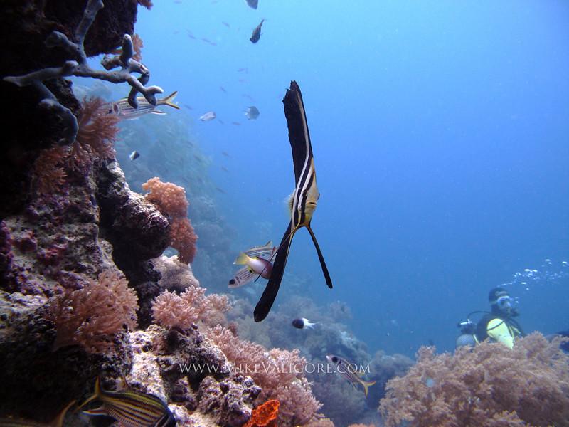 Batfish on Mnemba Atoll<br /> Zanzibar, Tanzania