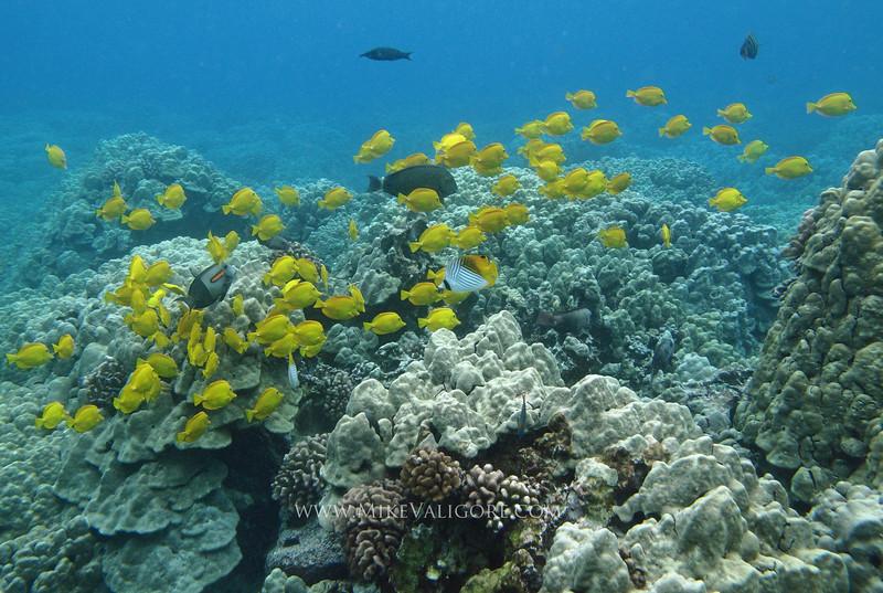 Coral reef<br /> Hawai'i