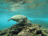 Haena Beach sea turtle<br /> Kauai, Hawai'i<br /> <br /> Ke'e Bay might be the best place in the world to snorkel with sea turtles.