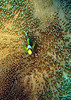 Clownfish<br /> Mnemba Atoll, Zanzibar<br /> <br /> A lone clownfish takes shelter in its anemone off of Mnemba Atoll.