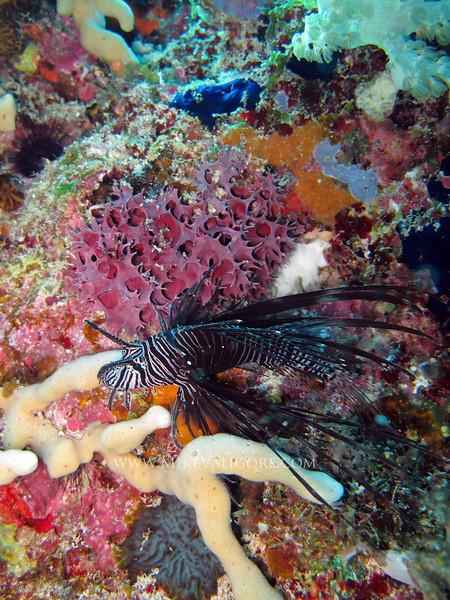 Lionfish and coral<br /> Zanzibar